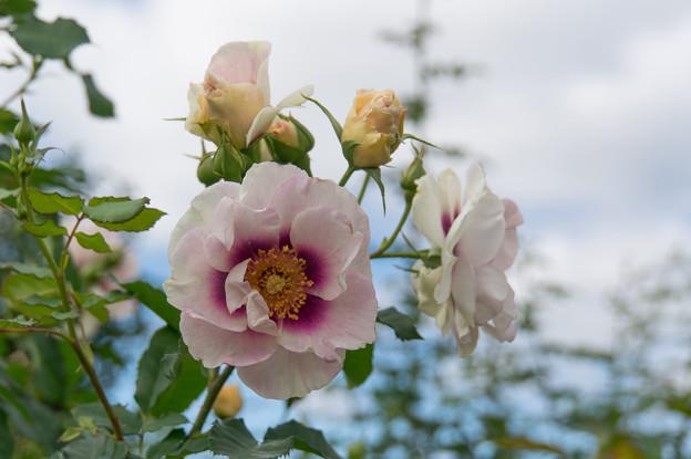 花菜ガーデン【薔薇:アイズ・フォー・ユー】1