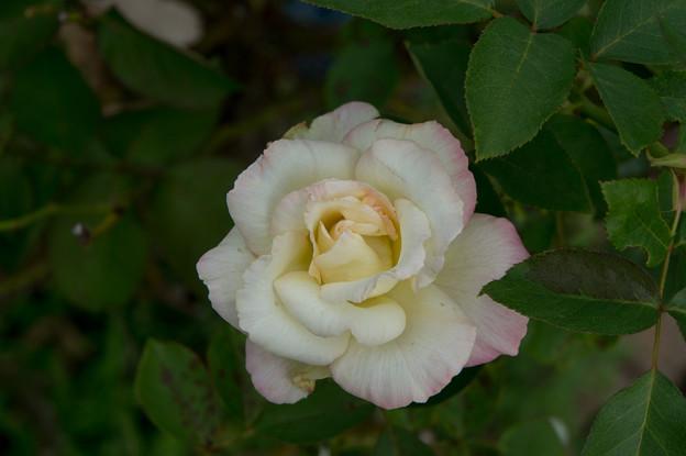 花菜ガーデン【薔薇:魅惑】