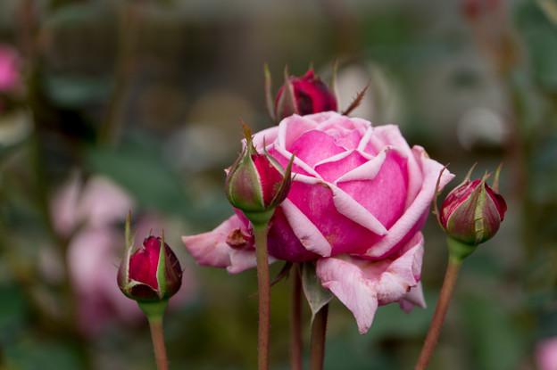 花菜ガーデン【薔薇:結愛】