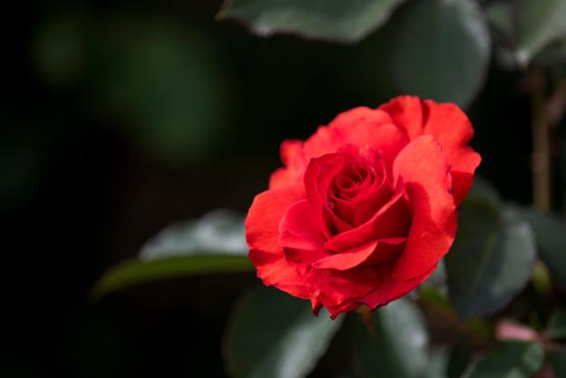 花菜ガーデン【薔薇:オリンピック・フアイヤー】