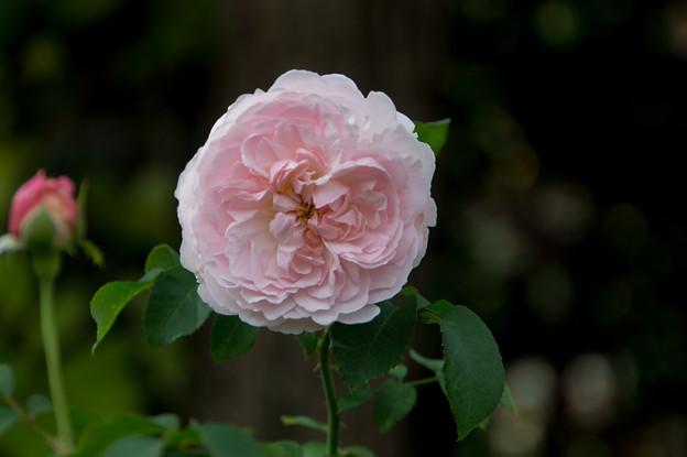 花菜ガーデン【薔薇:ミス・アリス】