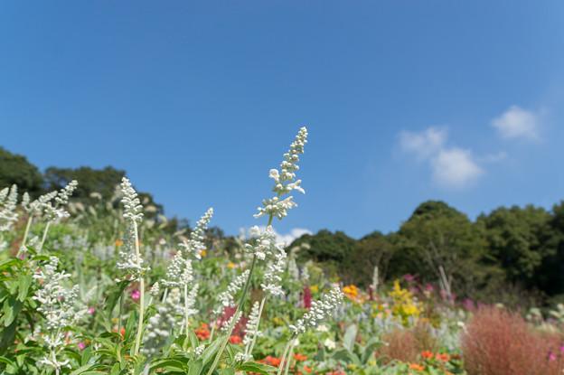 【青空と里山ガーデンの大花壇】4