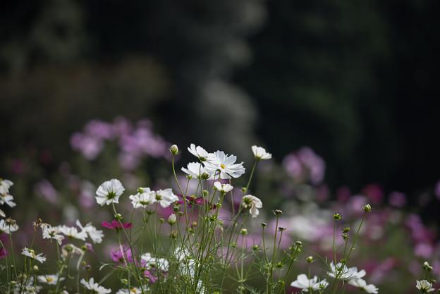 【里山ガーデンのコスモス】1