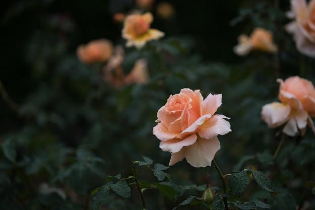 生田緑地ばら苑【秋バラ:ジャスト・ジョイ】1
