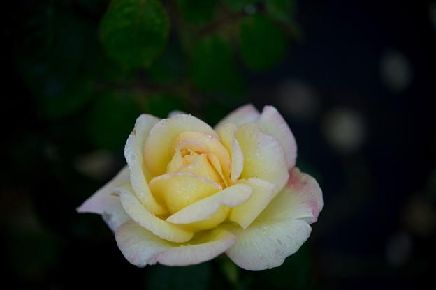 生田緑地ばら苑【秋バラ:ピース】1