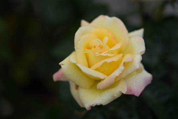 生田緑地ばら苑【秋バラ:ピース】3