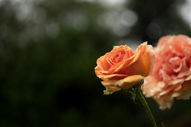 生田緑地ばら苑【秋バラ:アシュラム】1