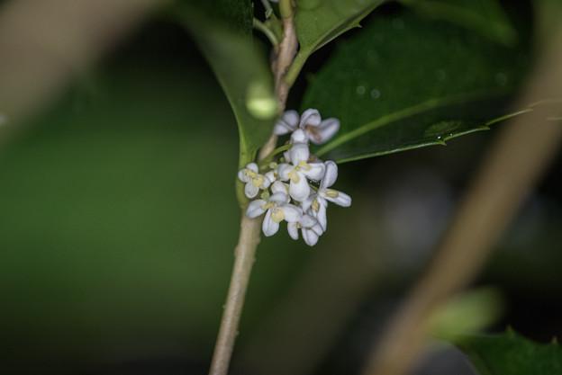 庭の花【ヒイラギモクセイ】1