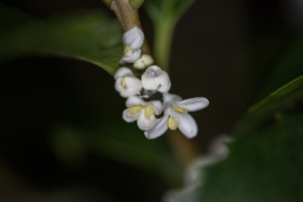 庭の花【ヒイラギモクセイ】2