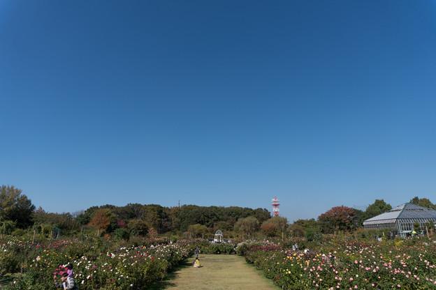 【京成バラ園の景色】2