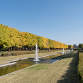Photos: 昭和記念公園【カナールのイチョウ】5