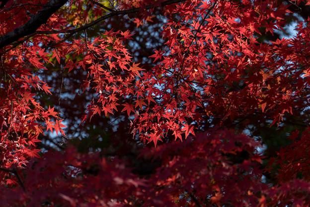 昭和記念公園【日本庭園の紅葉】3-2