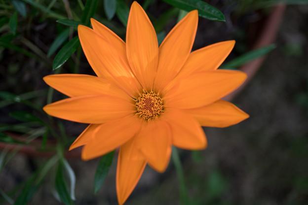 庭の花【ガザニア】2