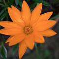 写真: 庭の花【ガザニア】2