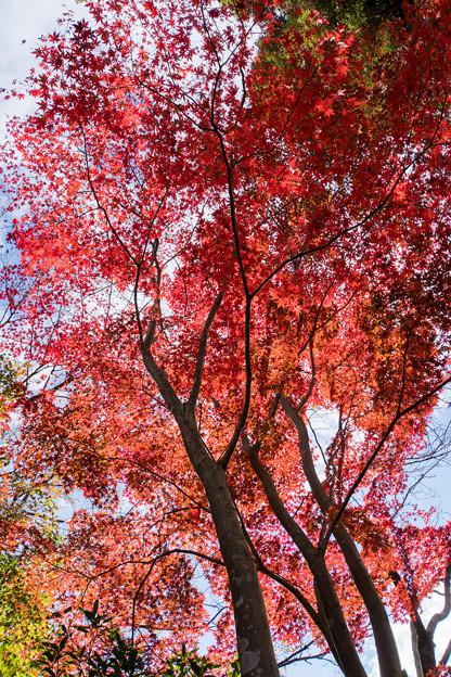 薬師池公園【旧荻野家手前の紅葉】5