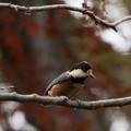 薬師池公園【鳥:ヤマガラ】