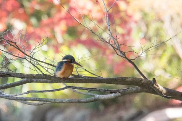 薬師池公園【鳥:カワセミ】1