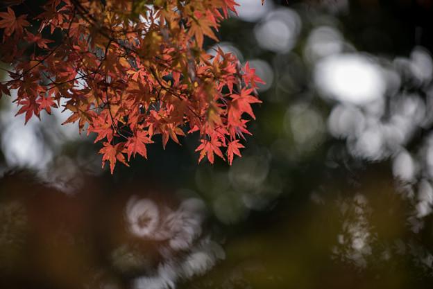 【近所の緑道の紅葉】3