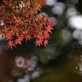 Photos: 【近所の緑道の紅葉】3