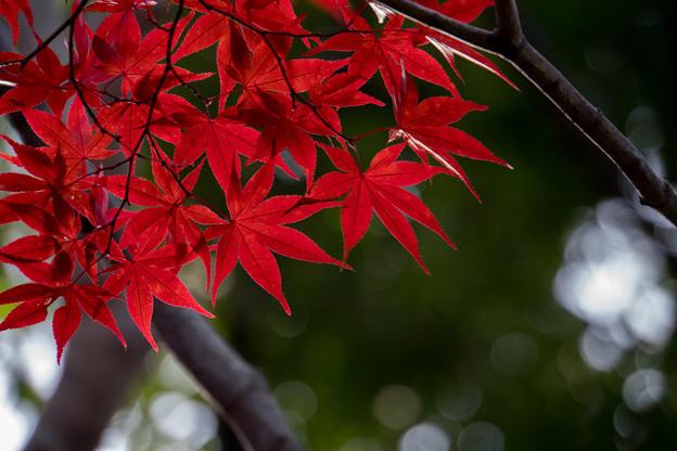 【近所の緑道の紅葉】4