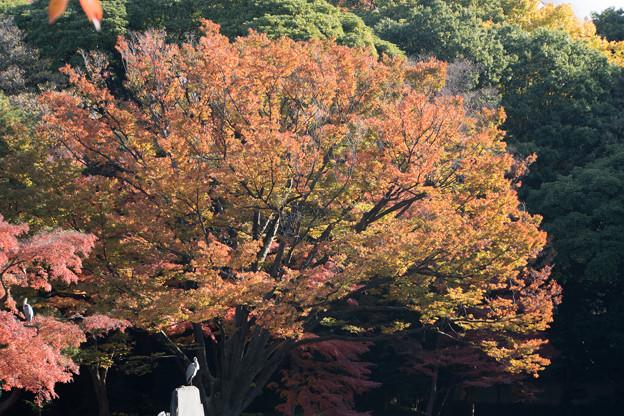 小石川後楽園【見事なケヤキ】