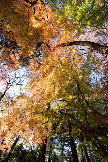 新宿御苑【モミジ山のの紅葉】4