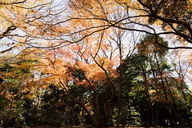 新宿御苑【西休憩所付近の紅葉】3