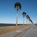 写真: 袖ヶ浦海浜公園【エントランスのヤシ並木】