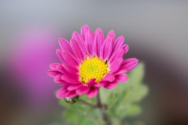 真冬の庭に咲く花【小菊】