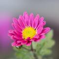 Photos: 真冬の庭に咲く花【小菊】
