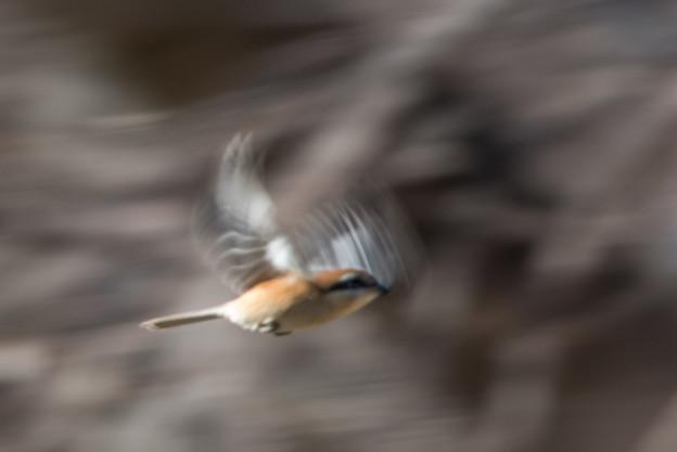 神代植物公園【野鳥:モズ】4