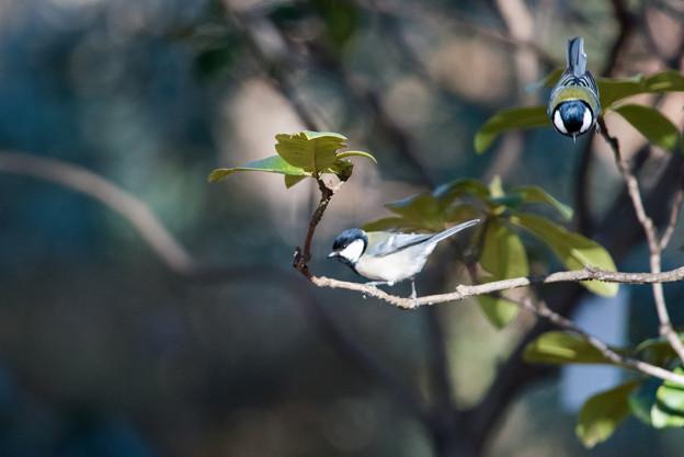 神代植物公園【野鳥:シジュウカラ】1