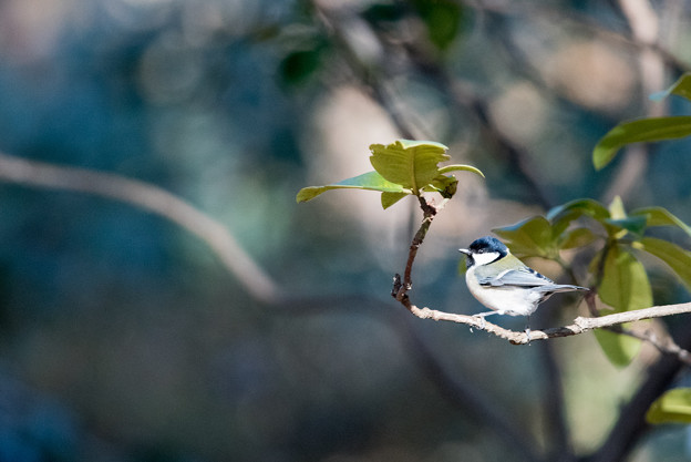 神代植物公園【野鳥:シジュウカラ】2