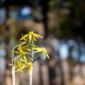 Photos: 神代植物公園【スイセン:オータムジュエル】