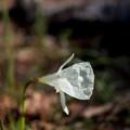 Photos: 神代植物公園【ナルキッスス・カンタブリクス】1