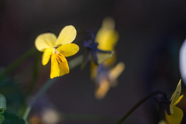 冬の庭に咲く花【スミレ】