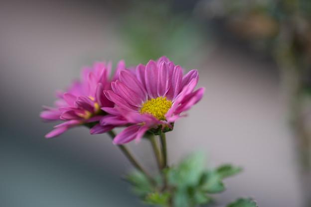 冬の庭に咲く花【小菊】1