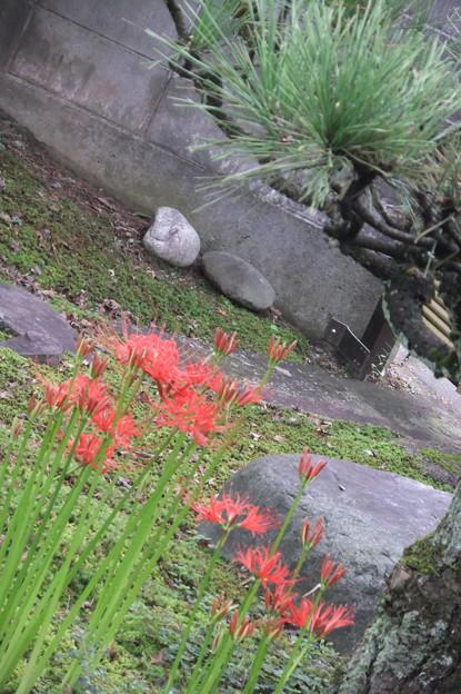 明け方の彼岸花 9月23日 3