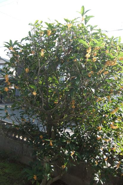 庭の金木犀