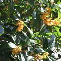 庭の金木犀2