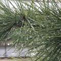 写真: 松の木の雫