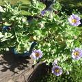 鉢植えのハマギク