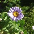 写真: 鉢植えのハマギク2