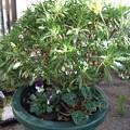 キララ、ビオラ、シクラメンの寄せ植え