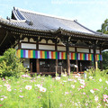 写真: IMG_6692般若寺・本堂と秋桜