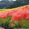 Photos: IMG_6873葛城古道・彼岸花