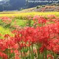 Photos: IMG_6885葛城古道・彼岸花