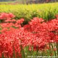 Photos: IMG_6888葛城古道・彼岸花