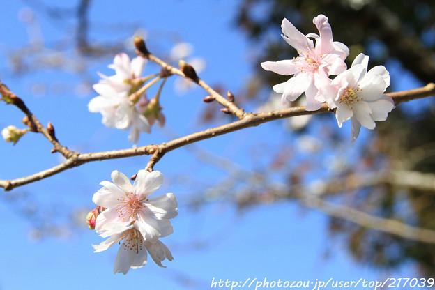 IMG_7160百済寺・長寿桜