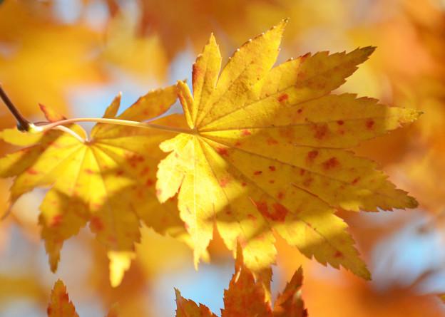 秋の彩(黄葉)